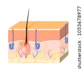 structure of the skin. body fat.... | Shutterstock .eps vector #1053678977
