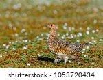 willow ptarmigan  lagopus... | Shutterstock . vector #1053720434