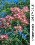 Small photo of Silktree (Albizia julibrissin). Known as Mimosa, Persian Acacia, Persian Silk Tree, Pink Silk Tree, Lenkoran acacia and Bastard tamarind.