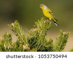 a beautiful male citril finch ... | Shutterstock . vector #1053750494