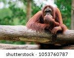 Thinking Orangutan  Kota...