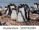 two gentoo penguin's chicks in...   Shutterstock . vector #1053761084