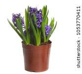 blue hyacinths growing in a pot ... | Shutterstock . vector #1053770411