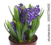 blue hyacinths growing in a pot ... | Shutterstock . vector #1053770435