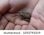 a tiny frog in child's hands | Shutterstock . vector #1053793319