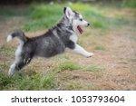Cute Siberian Husky Puppy...