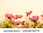 soft focused on pink flower...   Shutterstock . vector #1053878579