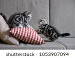 two cute american cat kittens | Shutterstock . vector #1053907094