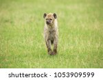 young hyena in savannah | Shutterstock . vector #1053909599