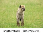 young hyena in savannah | Shutterstock . vector #1053909641