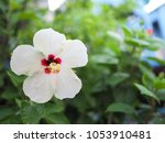 White Flower  Hibiscus  With...