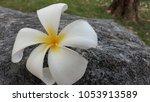 leelawadee flowers on the rocks ... | Shutterstock . vector #1053913589