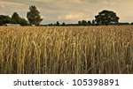 Pastoral View On Gold Field Of...