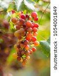 ripe grapes in fall ripe grapes ... | Shutterstock . vector #1054001849