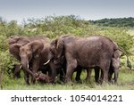 family elephants with newborn... | Shutterstock . vector #1054014221