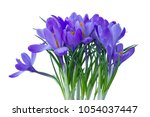 blue crocuses on a white...   Shutterstock . vector #1054037447