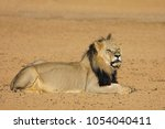 big male african lion  panthera ... | Shutterstock . vector #1054040411
