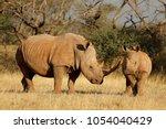White rhinoceros  ceratotherium ...