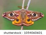 male of the small emperor moth  ... | Shutterstock . vector #1054060601