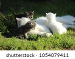 white cat with four kittens two ... | Shutterstock . vector #1054079411
