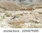 Small photo of a blackstart bird perched on a desert shrub in the Zin Valley in Israel