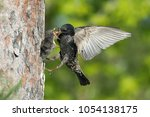 the common starling  sturnus... | Shutterstock . vector #1054138175