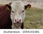 Portrait Of Woodland Cow  ...