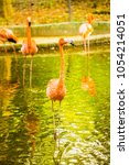 Small photo of American flamingo in Thai, Thailand.