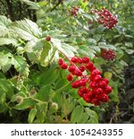 Small photo of Red Baneberries (Actaea rubra) poisonous berries in a forest in Canada