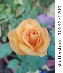 beautiful yellow rose for... | Shutterstock . vector #1054271204