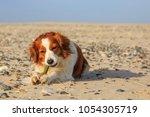 Kooikerhondje On The Beach