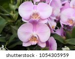 pretty flowering moth orchids ... | Shutterstock . vector #1054305959