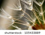 Water Drops On Dandelion Seeds