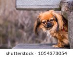 The Pekingese  Also Known As...