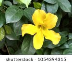 cat's claw vine  yellow flower | Shutterstock . vector #1054394315