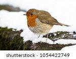 european robin  erithacus... | Shutterstock . vector #1054422749