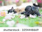 baby french bulldog puppy. dog... | Shutterstock . vector #1054448669