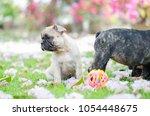 baby french bulldog puppy. dog... | Shutterstock . vector #1054448675