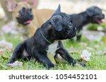 baby french bulldog puppy sit... | Shutterstock . vector #1054452101
