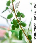 spanish green olives on a tree. | Shutterstock . vector #1054523159