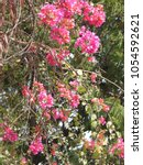 Small photo of Bougainvillea pink color flowers and green leaves. This tree also known as Santa Rira, buganvilla.