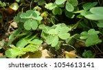 creeping lady's sorrel  oxalis  ...   Shutterstock . vector #1054613141