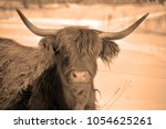 highland cattle are a scottish... | Shutterstock . vector #1054625261