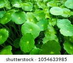 tropical aquatic plant in the...   Shutterstock . vector #1054633985