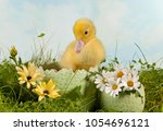 Newborn Easter Duckling In A...