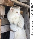 A Fluffy White Cat Sits On A...