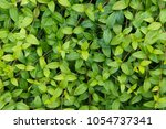 Small photo of Green vinca leaves background