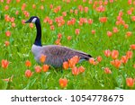 a goose in a park  france | Shutterstock . vector #1054778675