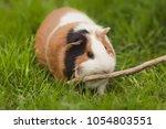funny guinea pig eating grass... | Shutterstock . vector #1054803551
