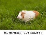 funny guinea pig eating grass... | Shutterstock . vector #1054803554